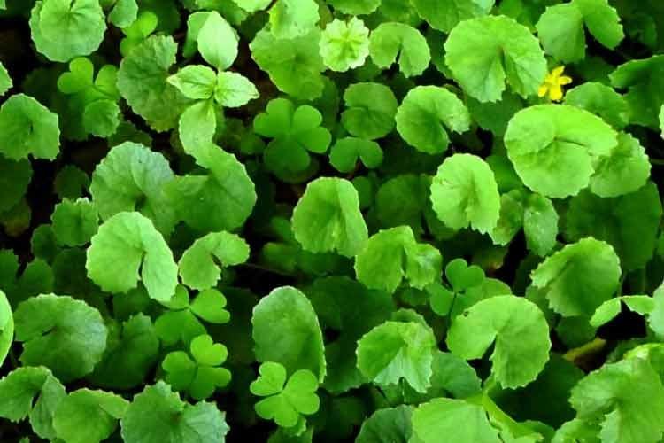 گیاه سنتلا آسیاتیکا